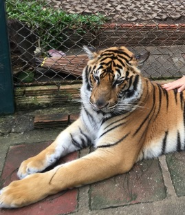 Tiger Kingdom, Chian Mai, Thailand